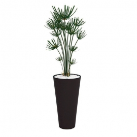 Plantes vertes Papyrus