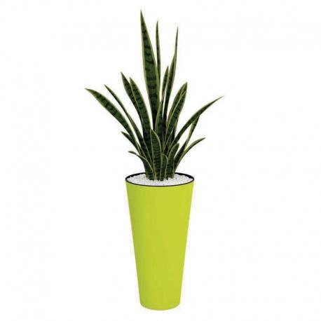 Plantes vertes Sanseivera